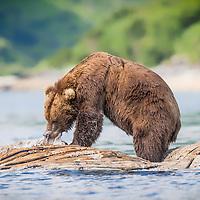 A brown bear feeds on a whale carcass at high tide in Kiniak Bay, Katmai National Park