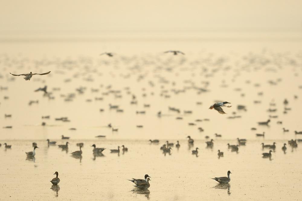 Wintering birds - Long-tailed duck, Shoveler, Pulicat Lake, Tamil Nadu, India