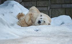 04.01.2011, Wuppertal, GER, Outdoor, Zoo  . im Bild der Eisbaer Lars aus dem Wuppertaler Zoo ruht sich auf dem Schnee aus und beobachtet die Umgebung dabei...Foto © nph Freund       ****** out ouf GER ******