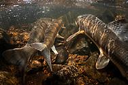 White Sucker (spawning)<br /> <br /> Sean Landsman/Engbretson Underwater Photography