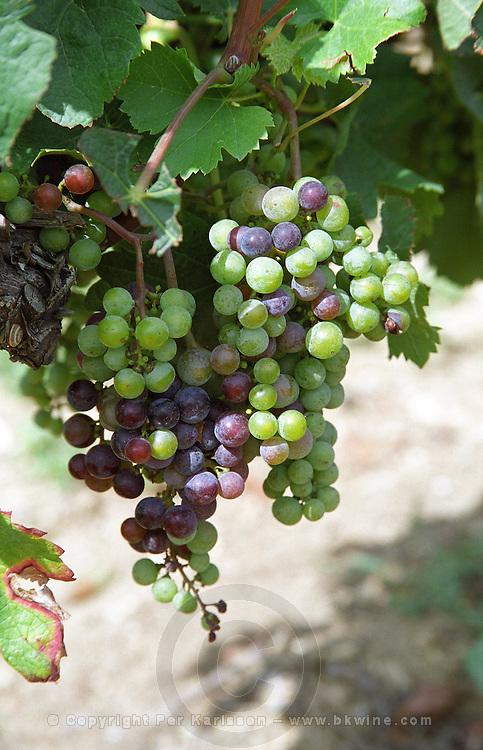 Unripe grapes. Veraison, grape colouring. Merlot vines. Chateau Jonqueyres, Bordeaux Superieur, Entre deux Mers, Bordeaux, France