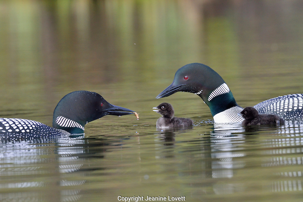 two chicks with male and female loon feeding dragon fly larvae .