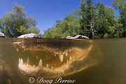 American alligator ( Alligator mississippiensis ), Big Cypress National Preserve, Florida, U.S.A. ( North America - freshwater )