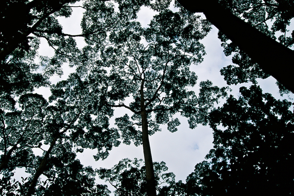 A view of the canopy of the Amazon rainforest.