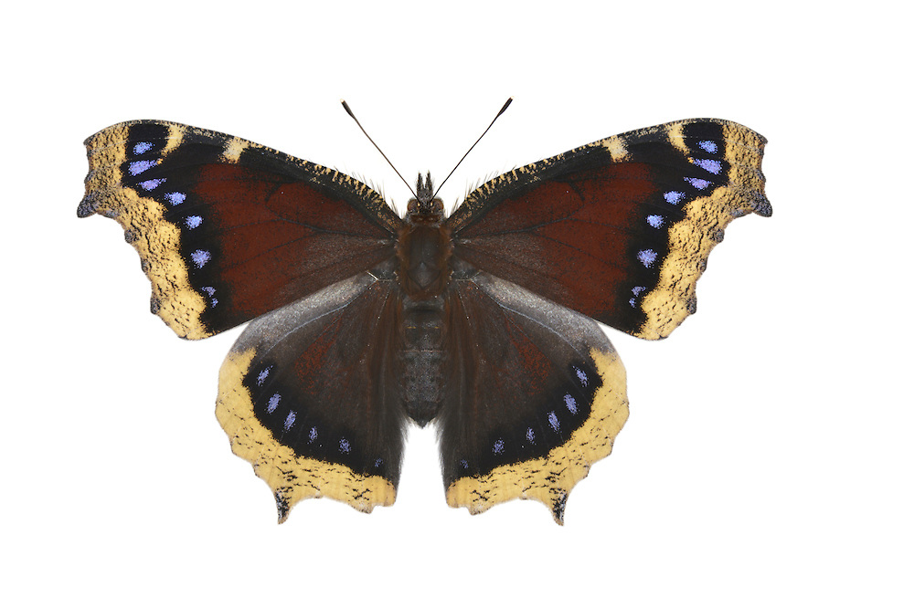 Camberwell Beauty - Aglais antiopa
