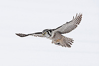 Hawk Owl<br /> Quebec Canada<br /> February 2010