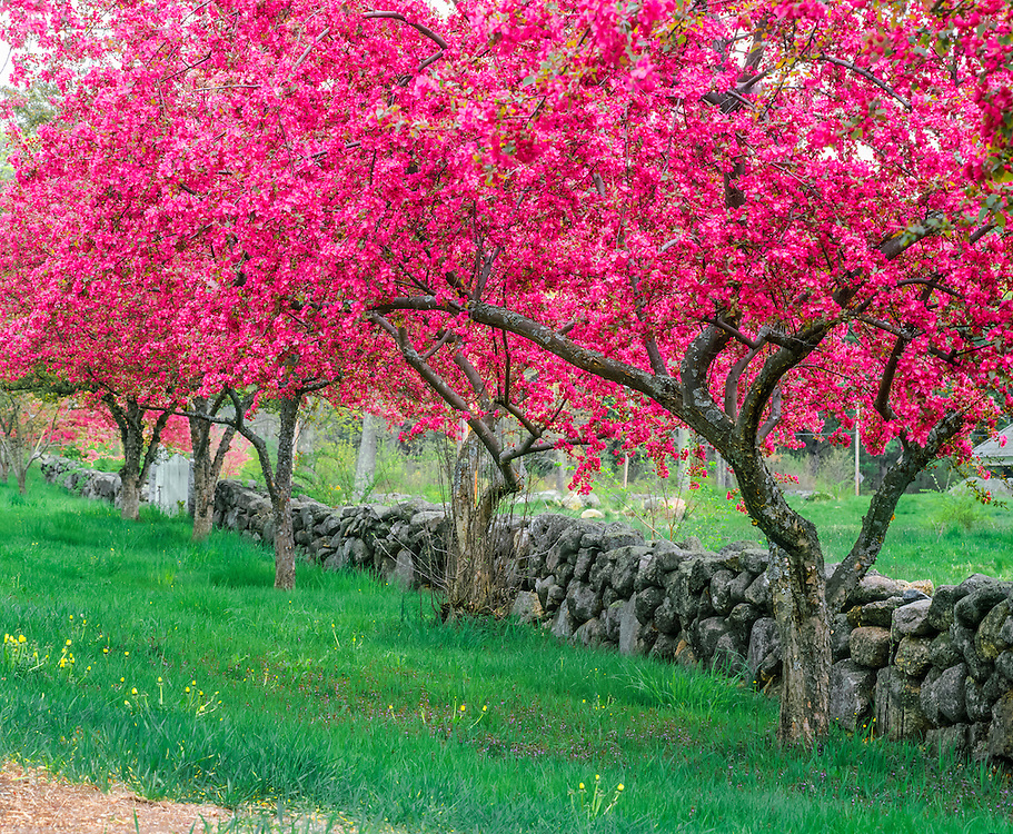 Crab apple trees in bloom along old stone wall, spring, Hillsborough Center, NH