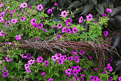 Geranium psilostemon with woven willow support