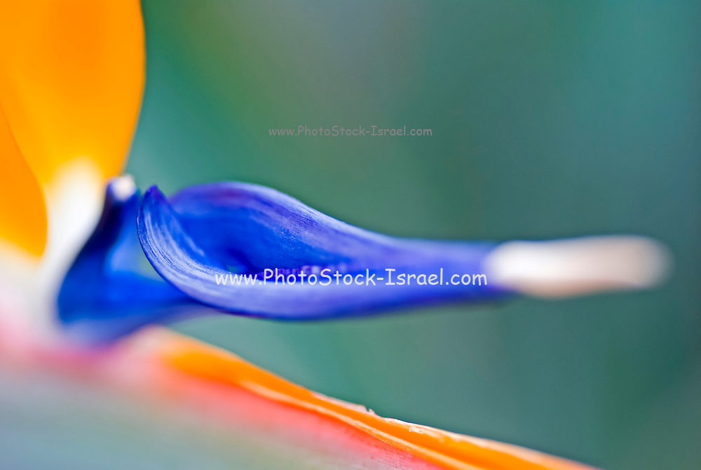 Extreme close up of a Bird of paradise flower