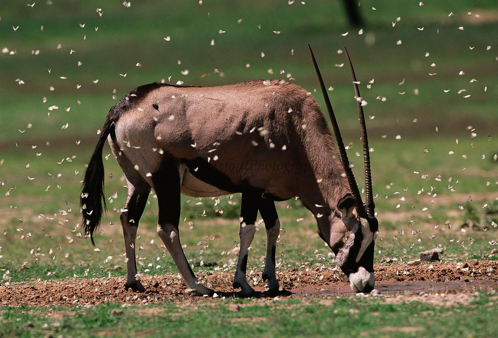 Oryx or Gemsbok with butterflies<br />Oryx gazella<br />Kgalagadi Transfrontier Park. Kalahari Desert<br />SOUTH AFRICA