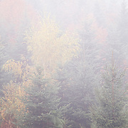 Trees in the mist, Autumn, Echandelys, PNR Livradois-Forez, Auvergne, France