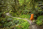 Rear view of a single backpacker hiking through a lush green forest, Routeburn Track, South Island, New Zealand