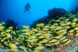 Lutjanus kasmira, Blaustreifen Schnapper und Taucher, Common Bluestripe snapper and scuba diver, Malediven, Indischer Ozean, Baa Atoll, Maldives, Indian Ocean, MR yes