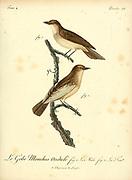 Gobe-mouches Ondule from the Book Histoire naturelle des oiseaux d'Afrique [Natural History of birds of Africa] Volume 4, by Le Vaillant, Francois, 1753-1824; Publish in Paris by Chez J.J. Fuchs, libraire 1805
