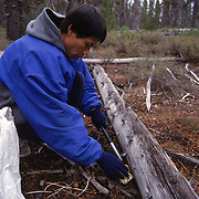 A matsutake picker carefully twists the mushroom out of the ground in the Willamette National Forest of Oregon. The slightest damage could deduct hundreds of dollars from the pickerÕs profit. The most desirable mushrooms are not yet fully open and retain the fragile membrane that protects the gills.