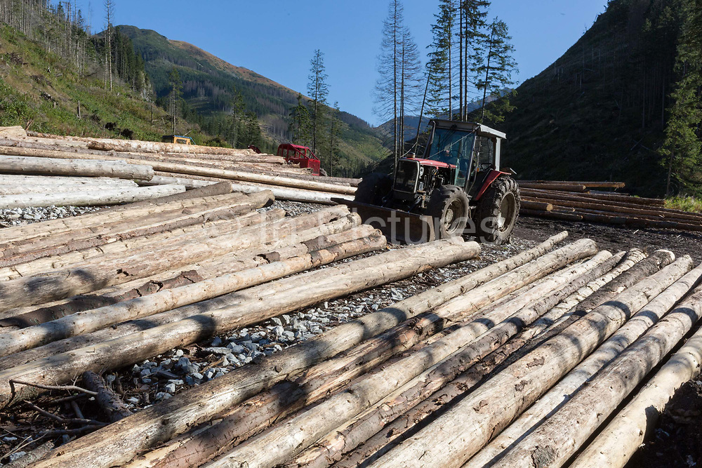 The timbers of healthy, felled spruce trees await collection in Dolina Chocholowska a hiking route in the Polish Tatra mountains, on 17th September 2019, near Zakopane, Malopolska, Poland. In this region of southern Poland however, the European spruce beetle Ips typographus is one of 116 bark beetles species in Poland which is killing thousands of spruces. The insects population can grow rapidly via wind and snow etc. which eventually leaves a gap in the landscape, thereby changing the forest floors ecology.
