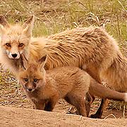 Red Fox, (Vulpus fulva) Female with kit. Spring. Montana.