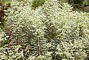 Euphorbia plant variegated variety growing in English country garden, UK
