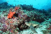 green sea turtle, Chelonia mydas, rests on coral reef, Sipadan Island, off Borneo, Sabah, Malaysia ( Celebes Sea / Western Pacific Ocean )