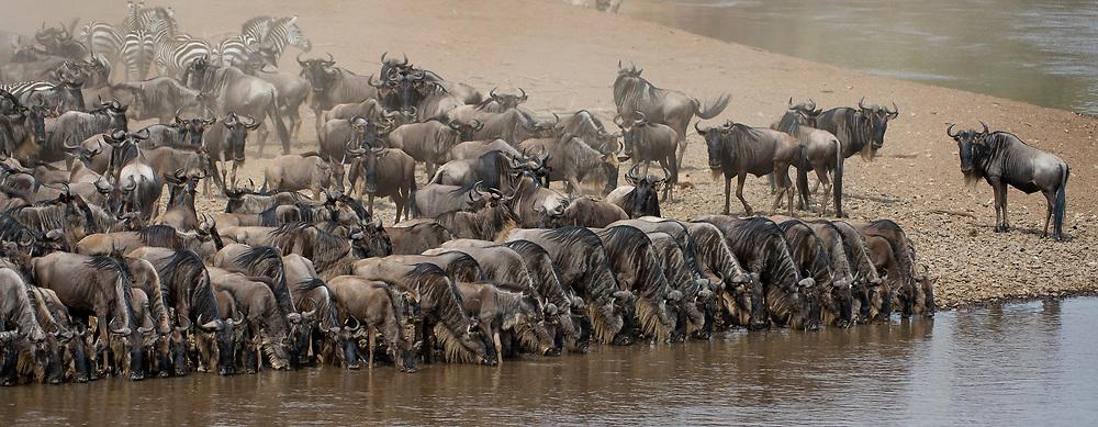 Wildebeests lining up to drink before crossing Mara River, Kenya.