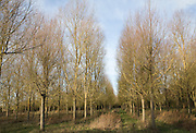 Salix Alba Caerulea, cricket bat willow trees planted on River Deben flood plain wetland, Campsea Ashe, Suffolk, England