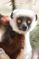 Closeup of a Lemur with piercing orange eyes. Magical Madagascar. Wildlife and nature wall art for sale.