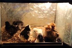 Day old chicks in incubator