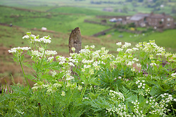 Sweet Cicely growing wild along the edge of a lane in Yorkshire. Myrrhis odorata