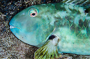 Yellowtail Parrotfish (Sparisoma rubripinne)<br /> BONAIRE, Netherlands Antilles, Caribbean<br /> HABITAT & DISTRIBUTION: Shallow areas of coral rubble and sea grass. <br /> Florida, Bahamas, Caribbean, north to Massachusetts & Bermuda