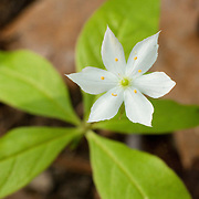 Trientalis borealis is a North American woodland perennial, it is also known as the Starflower. The starflower grows up to 9 inches tall and has one or two white flowers which consist of seven petals that form a star-like shape. The flowers are found on top of stalks which are above the lanceolate  leaves. The plant blooms between May and June...T. latifolia is disputed as being T. borealis Raf. subsp. latifolia (Hook.) Hultén.