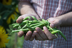 Man holding fresh green beans harvest garden