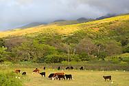 Cattle farming on the island of Molokai, Hawaii, USA