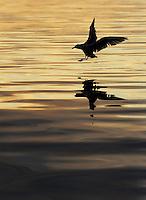 Herring gull (Larus argentatus) Flatanger, Norway. August 2008.