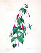 19th-century hand painted Engraving illustration of a Graptophyllum excelsum, the scarlet fuchsia plant by Pierre-Joseph Redoute. Published in Choix Des Plus Belles Fleurs, Paris (1827). by Redouté, Pierre Joseph, 1759-1840.; Chapuis, Jean Baptiste.; Ernest Panckoucke.; Langois, Dr.; Bessin, R.; Victor, fl. ca. 1820-1850.