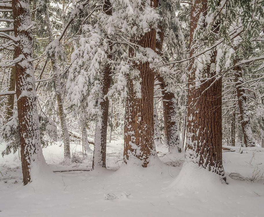 Hemlock forest after snowfall, winter, White Memorial Foundation, Litchfield, CT