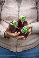 Harvesting aubergines