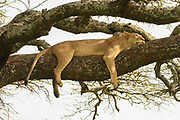 lioness resting in tree Photographed at Lake Manyara National Park. Home of the tree climbing lions, Arusha, Tanzania