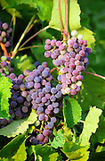 A bunch of grapes in Burgundy with drops of water