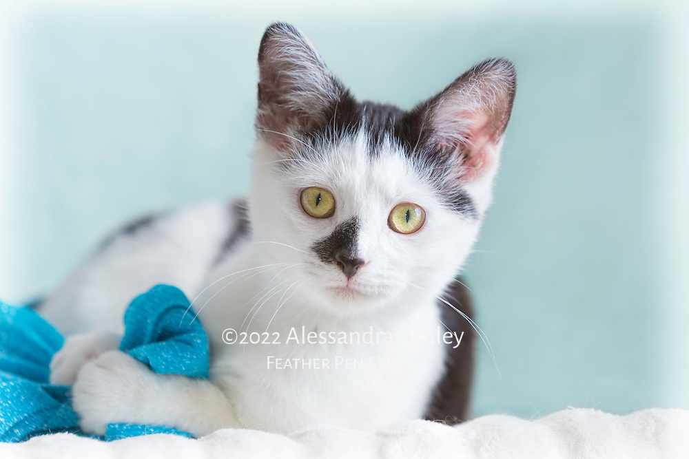 Black and white rescue kitten snuggles with blue blanket.