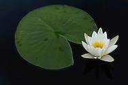White water lily, Nymphaea alba, Danube delta rewilding area, Romania