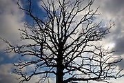 Oak tree, Bruern, The Cotswolds, United Kingdom