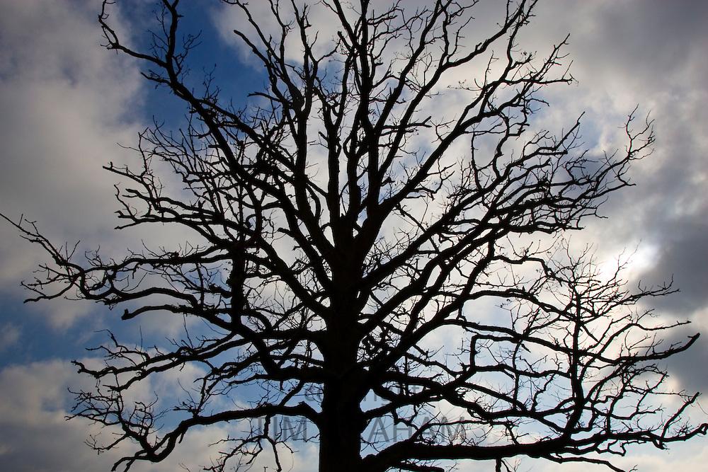 Oak tree, Bruern, The Cotswolds, United Kingdom