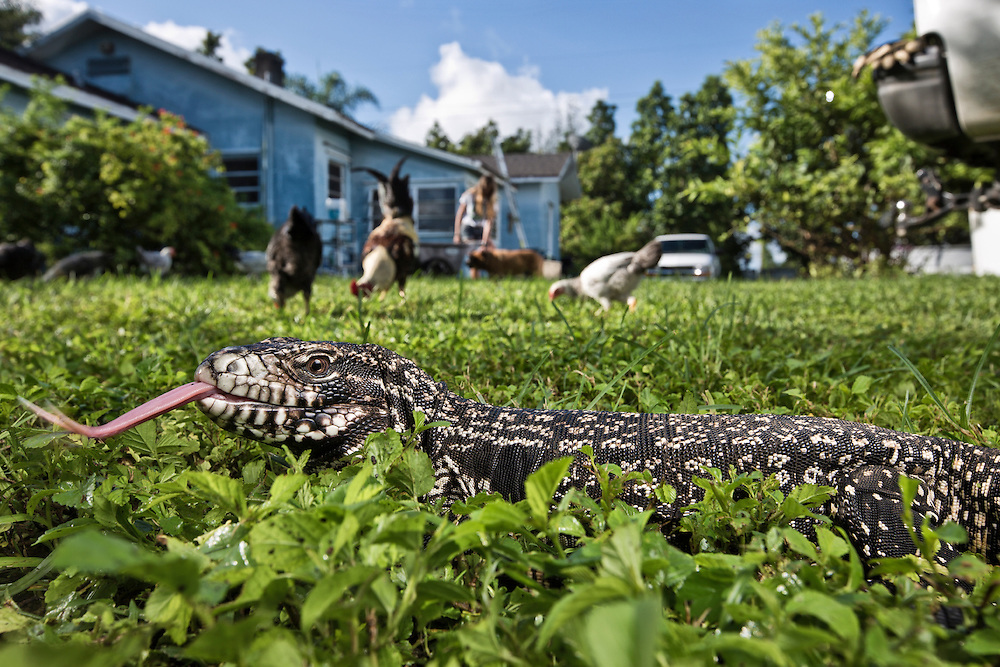 Homestead, FL. Portrait of an Argentine Tegu in the backyard of a home which borders Everglades National Park in Homestead, Florida. Tegus are an invasive species, as they have a voracious appetite, and are quite destructive to the environment.