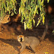 Red-fronted Lemur (Fulxus rufus) in Madagascar.  Endangered Species.