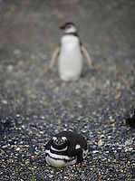 A Magellanic Penguin sits on the rocky beach on the Isla Martillo near Estancia Harberton and Ushuaia, Argentina. The island is the home of one of the largest penguin rookery in Tierra del Fuego.