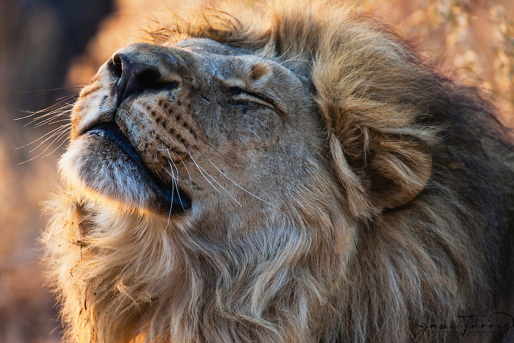 A close-up profile of a male lion (Panthera Leo) stretching and scenting in morning sun, Savuti, Chobe National Park, Botswana,Africa