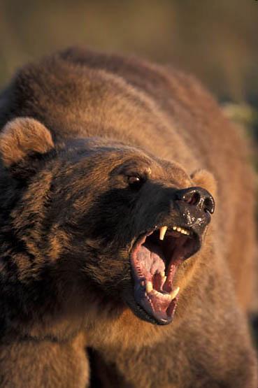 Grizzly Bear, (Ursus horribilis) Adult. Montana.   Captive Animal.