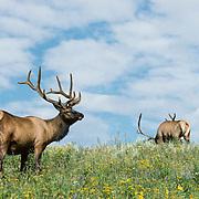 Elk (Cervis canadensis) bulls in velvet grazing on lush vegetation in a meadow during late summer.