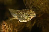 Pool frog tadpole (Pelophylax lessonae) sitting in and eating from soft hornwort (Ceratophyllum submersum), underwater, Danube Delta, Romania.