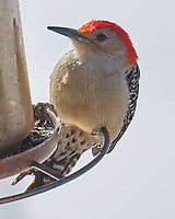 Red-bellied Woodpecker (Melanerpes carolinus). Image taken with a Leica CL camera and 90-280 mm lens.